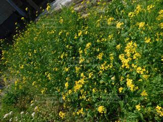 フィールド内の黄色の花の写真・画像素材[1531453]