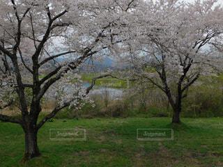 芝生広場の大きな木の写真・画像素材[2080417]