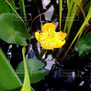 コーホネの花の写真・画像素材[1532352]