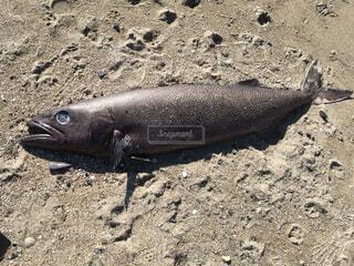 打ち上げられた深海魚の写真・画像素材[2428145]