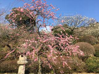 しだれ梅の写真・画像素材[1534877]