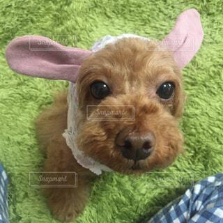 帽子をかぶった犬の写真・画像素材[1536370]