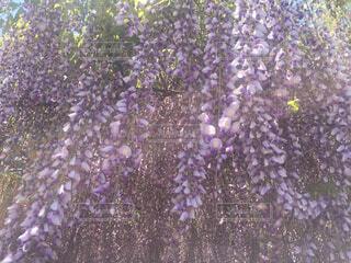 たくさんの藤の花の写真・画像素材[1536372]