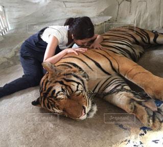 トラとの触れ合いの写真・画像素材[1536867]