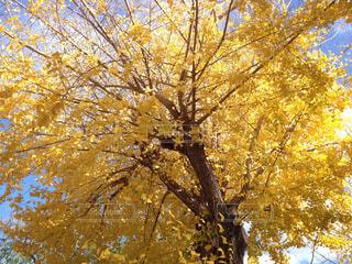 秋の空と銀杏の木の写真・画像素材[1544119]