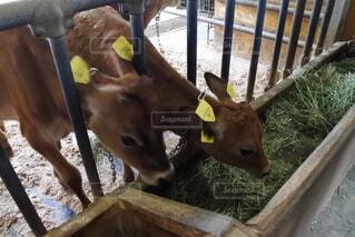 牛の写真・画像素材[1537974]