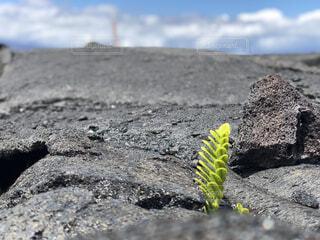 溶岩を破り伸びる植物の写真・画像素材[1536895]
