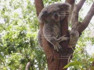 コアラの寝顔の写真・画像素材[1538237]