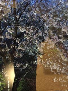 ガラス越しの桜の写真・画像素材[1562265]