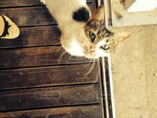 猫の写真・画像素材[53524]