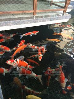 鯉の写真・画像素材[115655]
