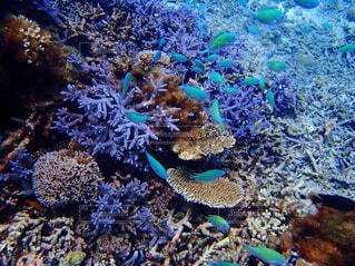 サンゴに群がるカラフルな魚たちの写真・画像素材[1545502]