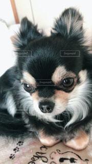 黒茶色の犬の写真・画像素材[1547806]