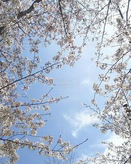 桜の下から見上げた青空の写真・画像素材[1540125]