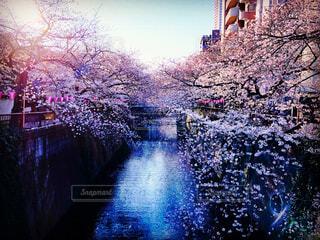 目黒の桜の写真・画像素材[1098586]