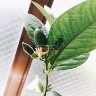 レモンの木の写真・画像素材[1010456]
