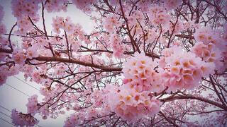 桜の写真・画像素材[1540346]