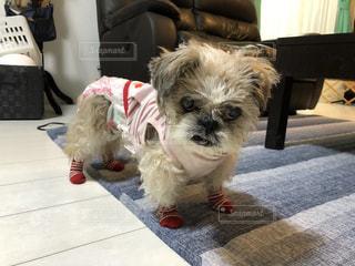 靴下を履いた愛犬の写真・画像素材[3485151]