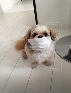 愛犬もマスクでコロナ対策!の写真・画像素材[3486087]