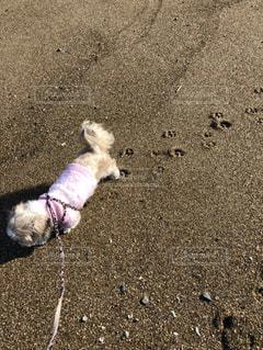 砂浜での愛犬の足跡の写真・画像素材[3486147]