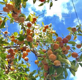 秋空と柿の写真・画像素材[1539247]