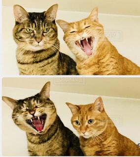 あくび猫の写真・画像素材[1545485]