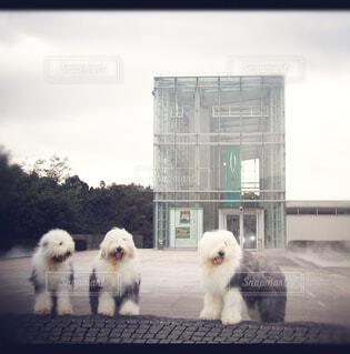 建物の隣に立っている小さな白い犬の写真・画像素材[1540054]