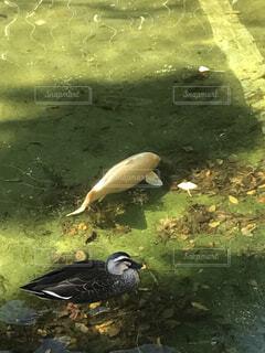 アヒルさんと鯉さんの写真・画像素材[1555095]