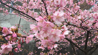 木の上のピンクの花の写真・画像素材[1541920]