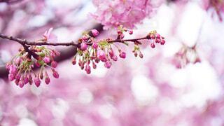 花咲を待つの写真・画像素材[4495865]