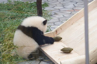 ママの焼き芋のような形のうんちも見つめる子パンダの写真・画像素材[4804977]