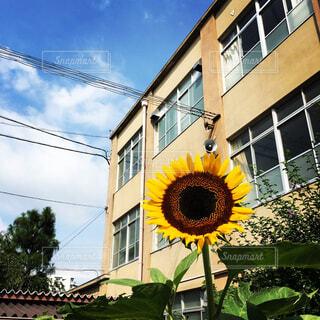 校舎の前に向日葵ありの写真・画像素材[1539805]