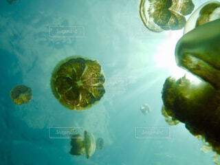 クラゲの写真・画像素材[1614644]