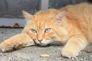地面に横になっている猫の写真・画像素材[1541351]