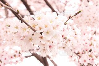 桜のアップの写真・画像素材[1541352]