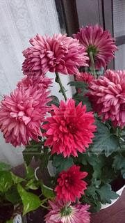 ピンクの花で一杯の花瓶の写真・画像素材[1548322]