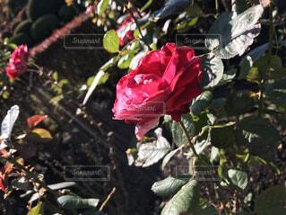 植物にピンクの花の写真・画像素材[1548339]