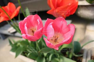 赤い花ポットの写真・画像素材[1548344]