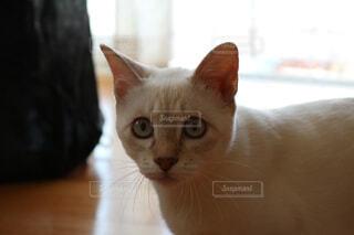 カメラを見ている猫の写真・画像素材[1549585]