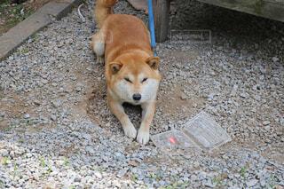 地面に横たわっている犬の写真・画像素材[1552249]