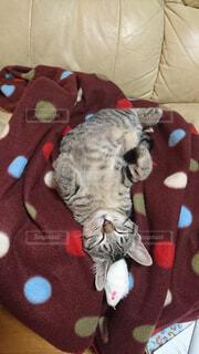 赤い毛布を着て猫の写真・画像素材[1552268]
