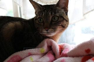 ピンクの毛布の上に横たわる猫の写真・画像素材[1553295]