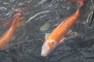 水面下を泳ぐ魚たちの写真・画像素材[1554005]