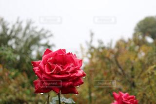 植物にピンクの花の写真・画像素材[1597947]