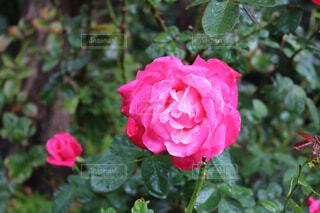 近くの花のアップの写真・画像素材[1597949]
