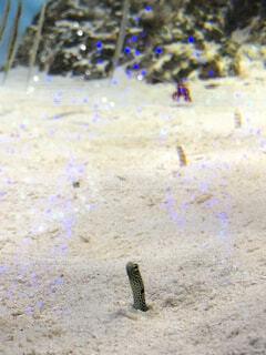 ニシキアナゴとチンアナゴの写真・画像素材[1637589]