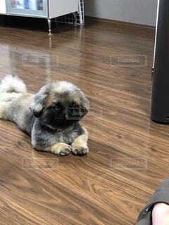退屈そうな犬の写真・画像素材[2694292]