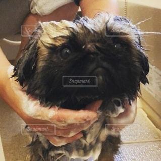 犬のシャンプーの写真・画像素材[2694299]