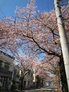 桜並木の写真・画像素材[2713688]