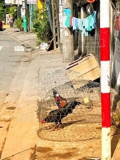 路地裏の鶏の写真・画像素材[2713692]